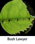 bush-lawyer