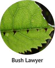 bush-lawyer