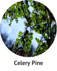 celery-pine