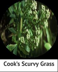 cooks-scruvy-grass