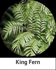 king-fern