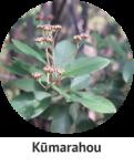 Kumarahou