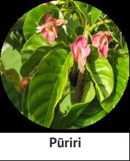 puriri