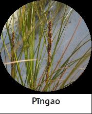 Pingao