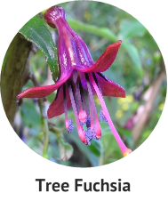 tree-fuchsia