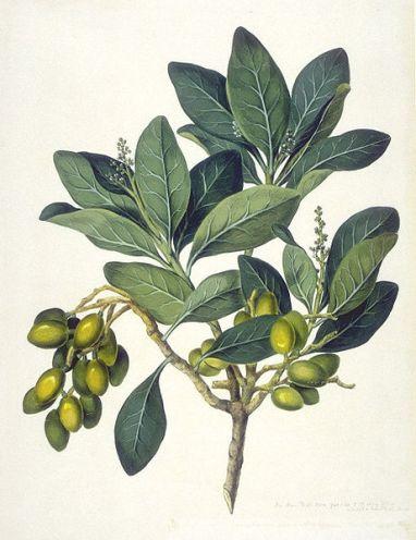 Corynocarpuslaevigatus 'Karaka' - John Frederick Miller - The Endeavour Botancial Illustrations
