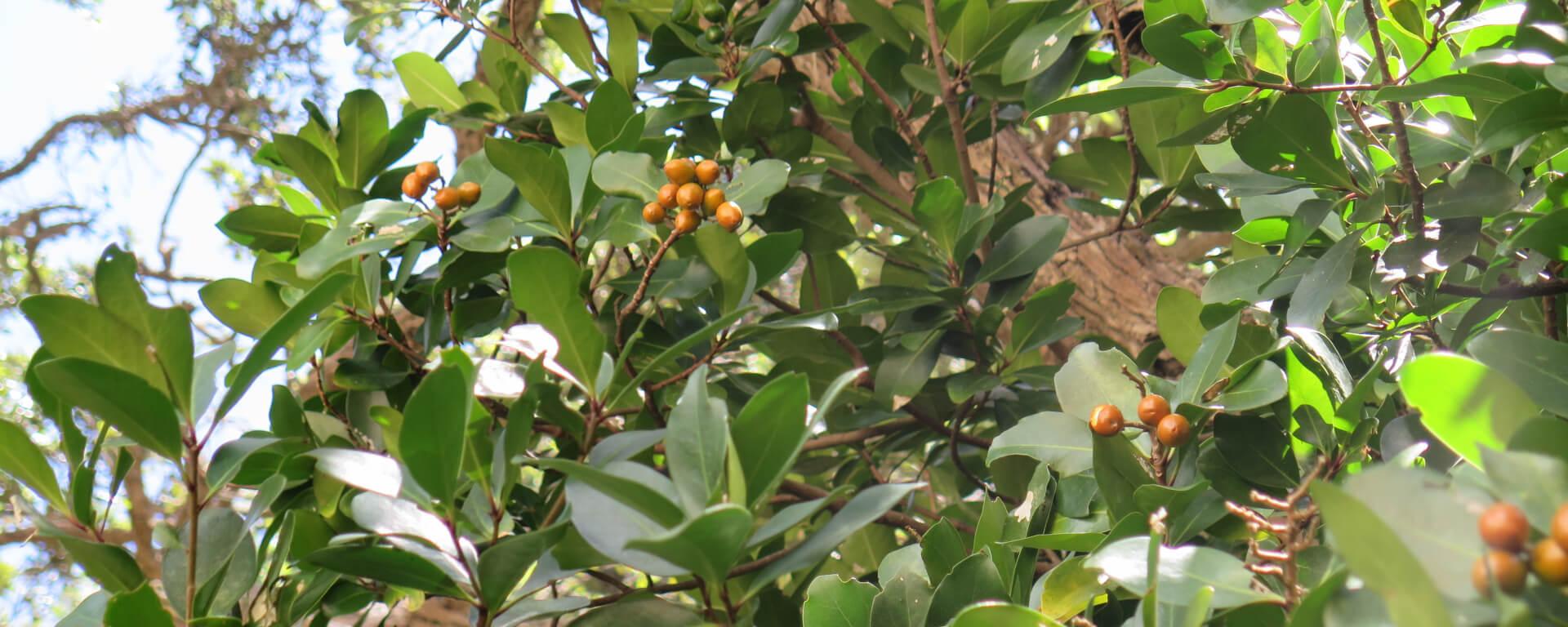 Karaka u corynocarpus laevigatus u the meaning of trees