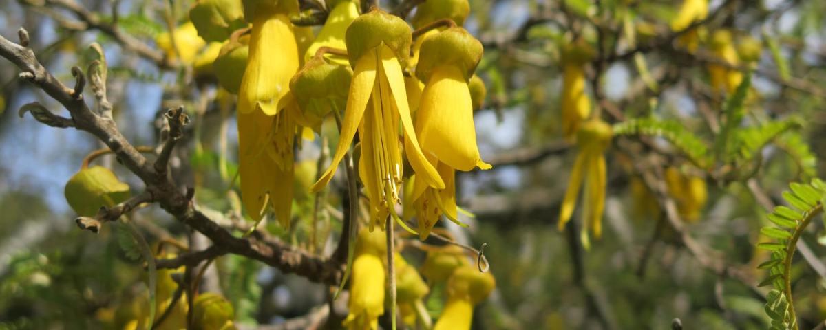 Kōwhai - Sophora spp.