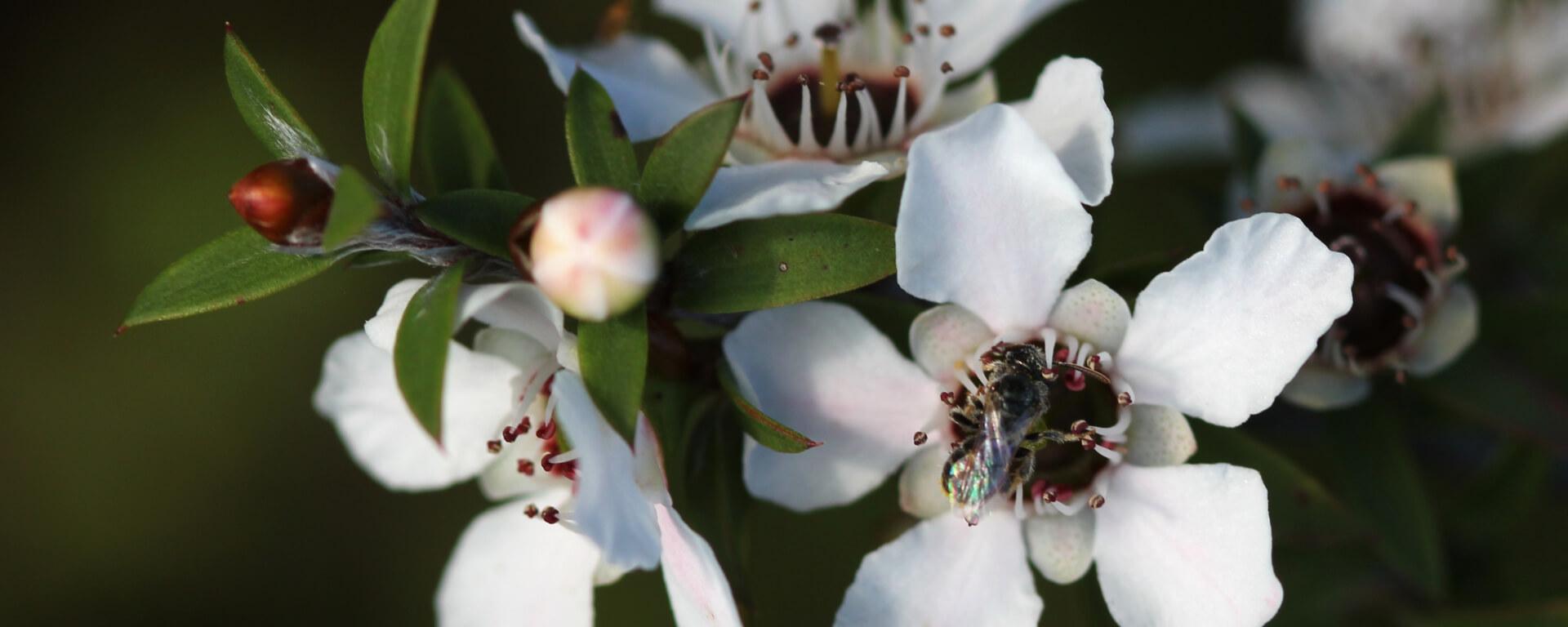 Mānuka – Leptospermum scoparium