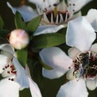Mānuka - Leptospermum scoparium