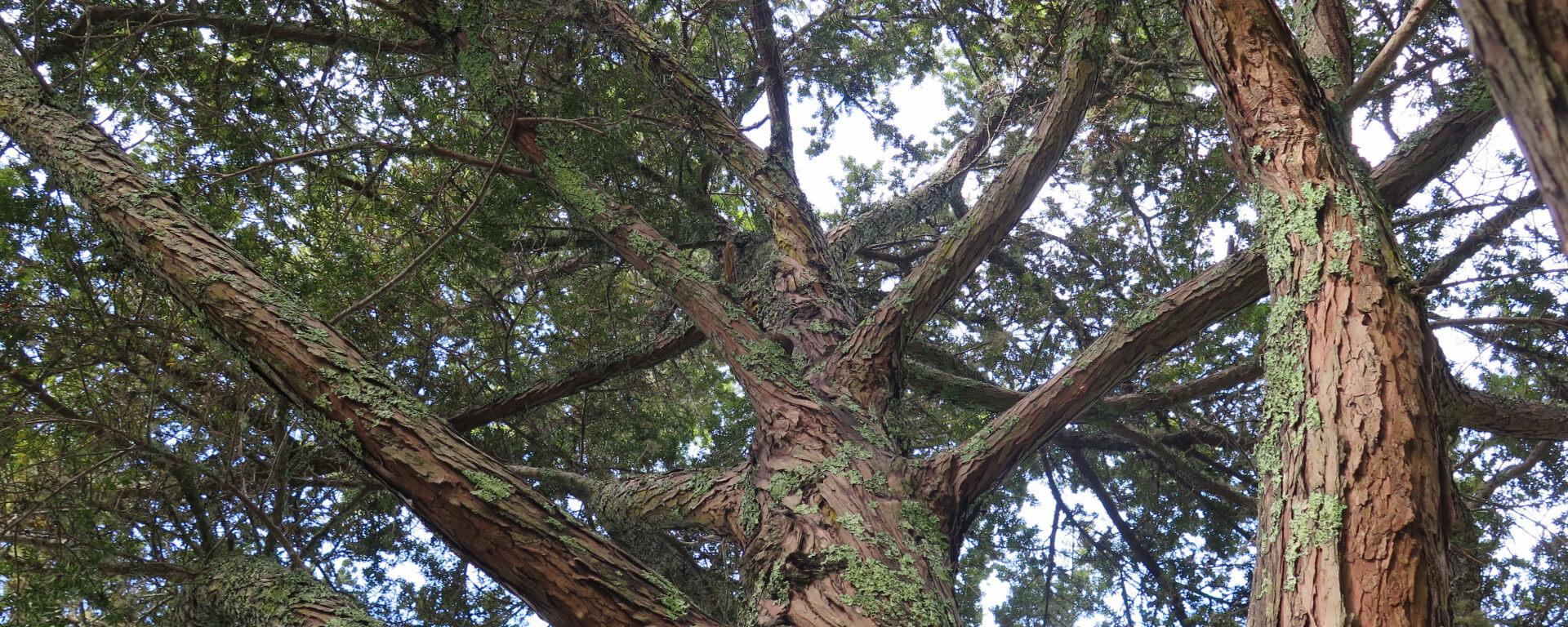 Tōtara – Podocarpus totara