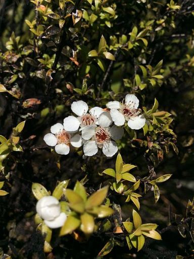 Leptospermum_scoparium_Manuka_Lake_Wilkie_Catlins