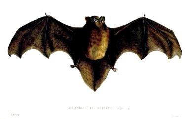 ScotophilusTuberculatusFord