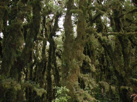Silver beech tree trunks covered in moss in Pakuratahi Forest Park on west side of Mount Climie (Rimutaka Range).