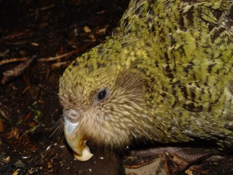 Kakapo - Strigops habroptilus