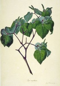 Macropiper excelsum - sydney parkinson