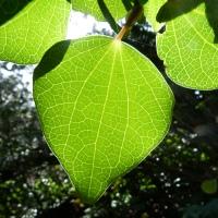 Kawakawa - Piper excelsum