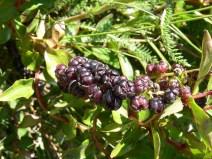 tutu berries, lake hawea (2)
