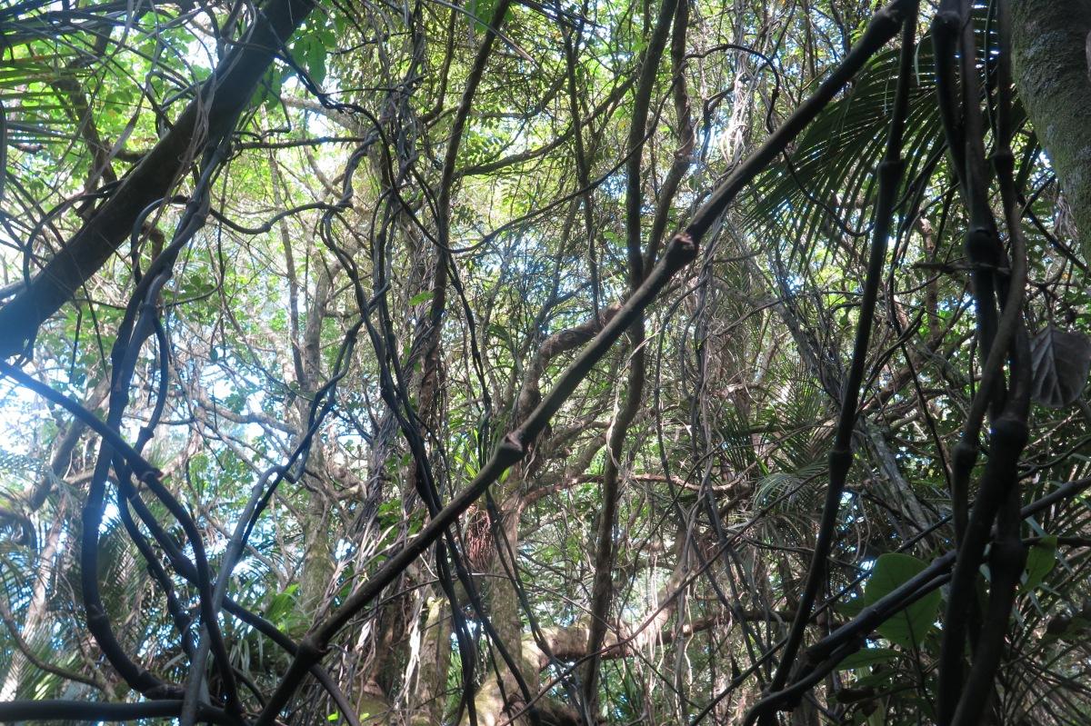 supplejack ripogonum scandens the meaning of trees