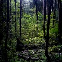 Tawa - Beilschimedia tawa
