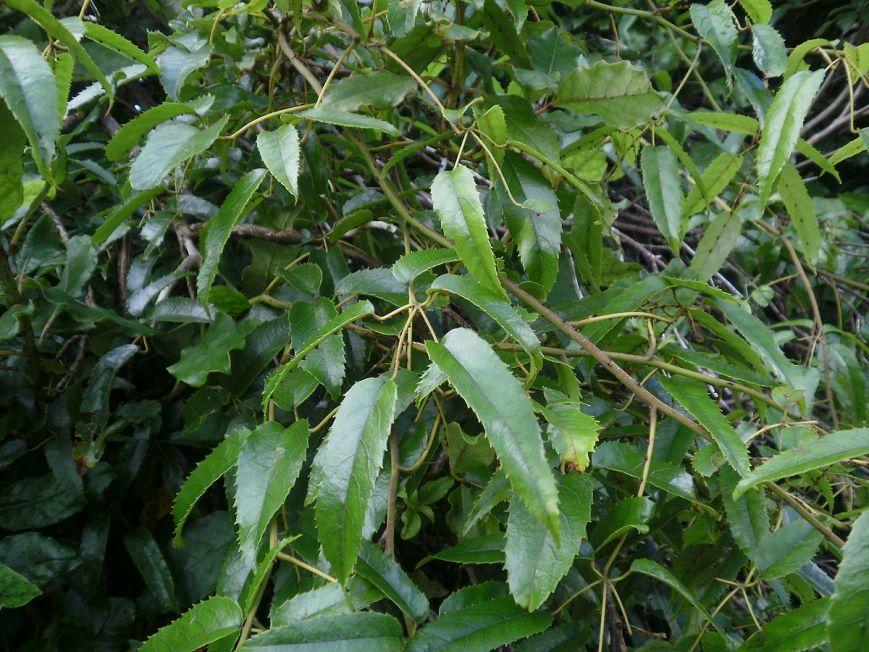 1200px-Rubus_cissoides_11