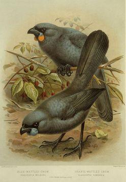 Keulemans,_John_Gerrard_1842-1912_-Blue-wattled_crow,_Glaucopis_wilsoni._Orange-wattled_crow,_Glaucopis_cinerea._(Two-thirds_natural_size)._-_J._G._Keulemans_delt._and_lith._(Plate_I._1888)._(21657584912)
