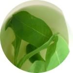 native-bush-tea