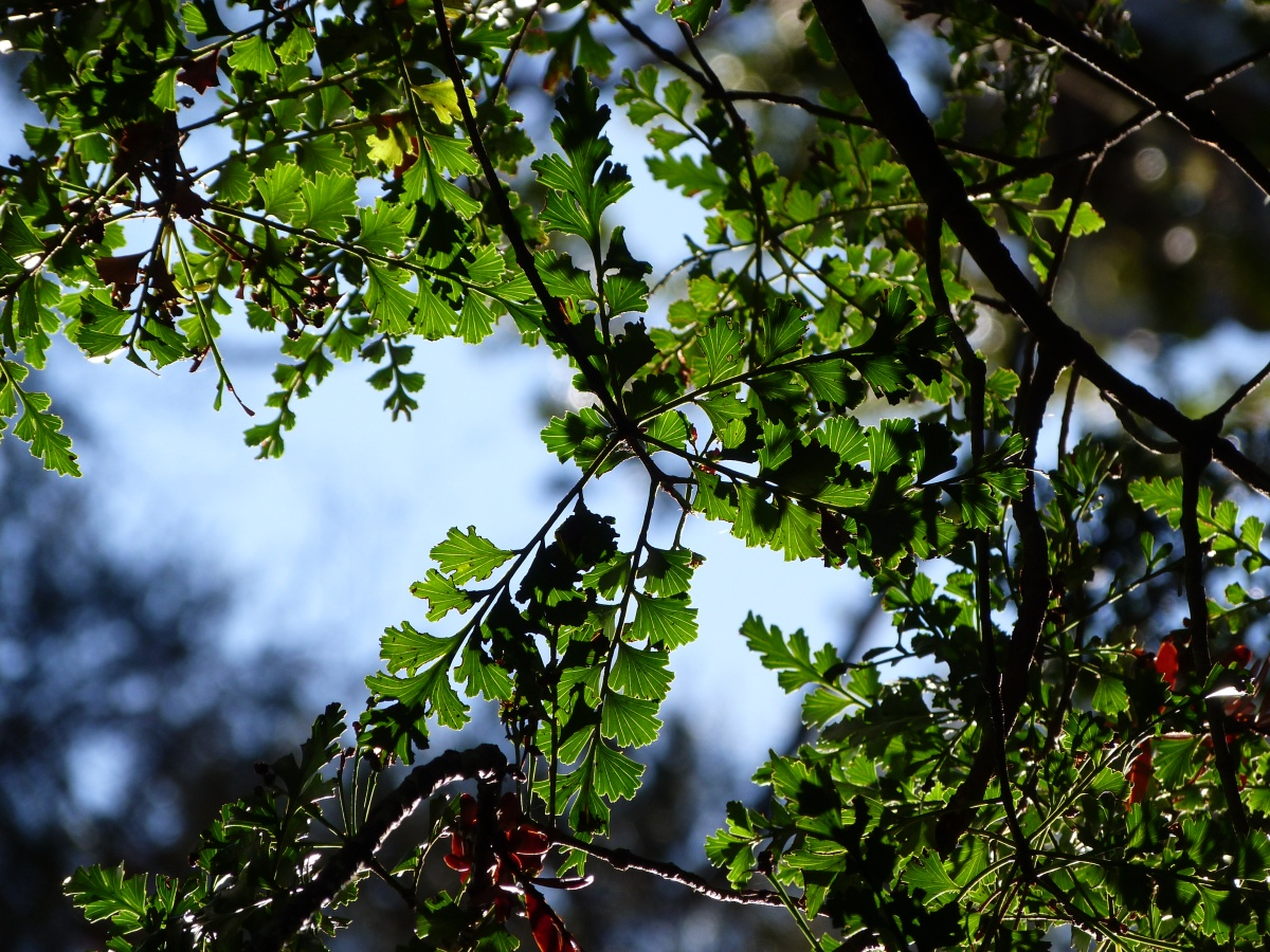 Celery Pine –Phyllocladus trichomanioides