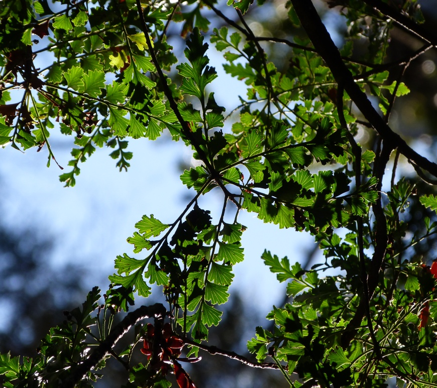 Image result for Tanekaha tree