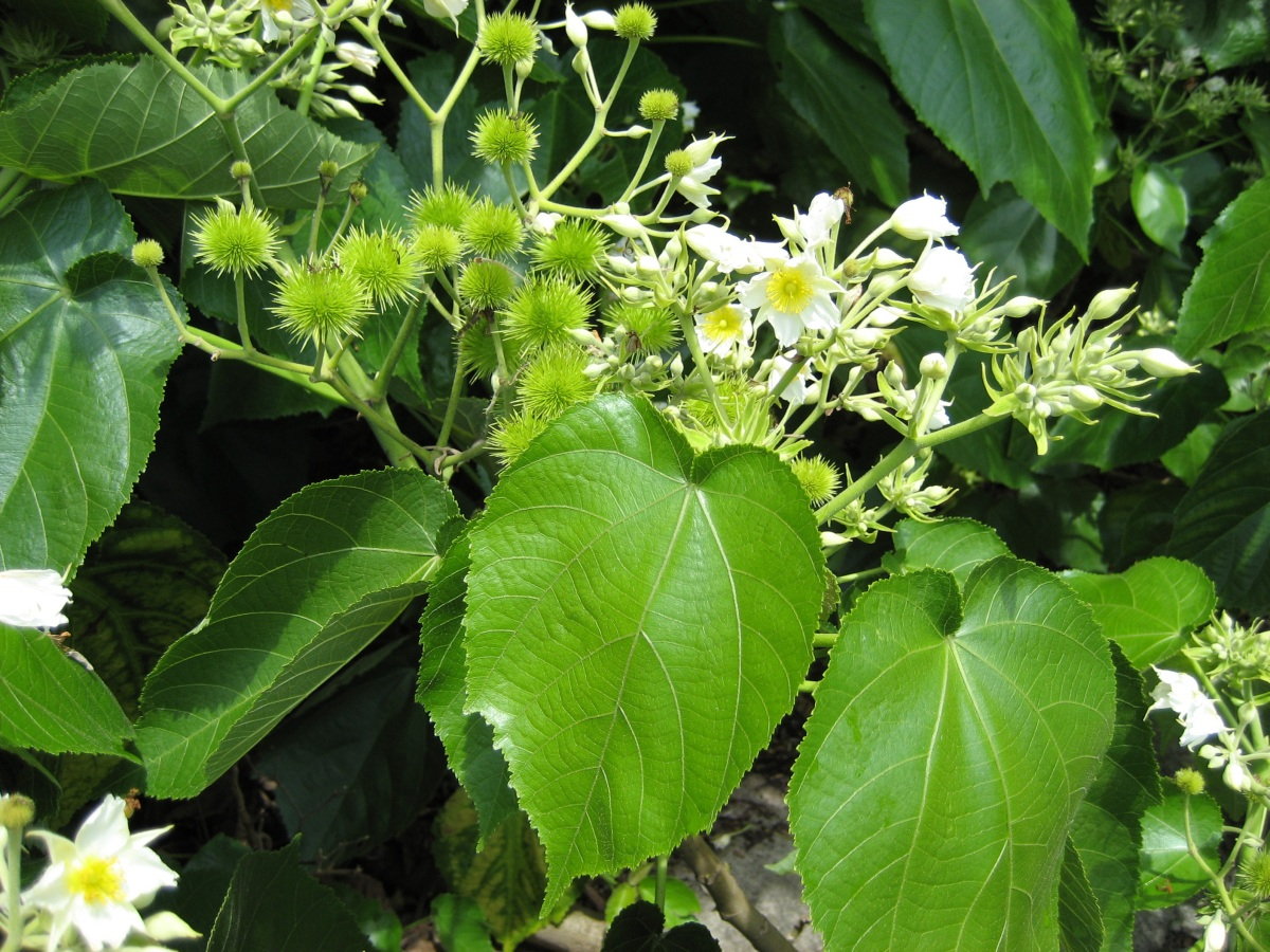 Whau - Entelea arborescens