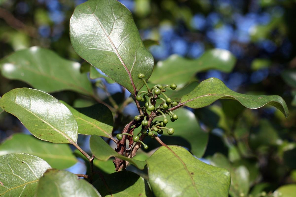 Mangeao - Litsea calicaris