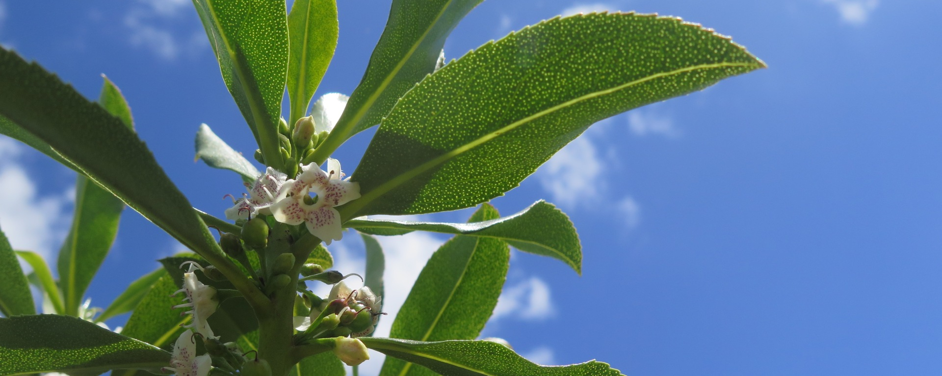 Ngaio Myoporum Laetum The Meaning Of Trees