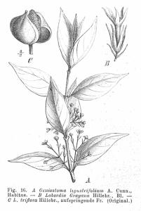 800px-Loganiaceae_spp_EP-IV2-016