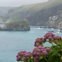 Megaherbs of the Subantarctic Islands