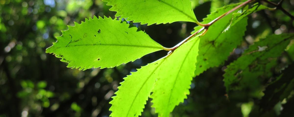 Pukatea - Laurelia novae-zelandiae