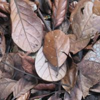 Taraire - Beilschmiedia tarairi