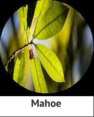 Mahoe