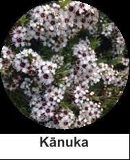 Kanuka thumb